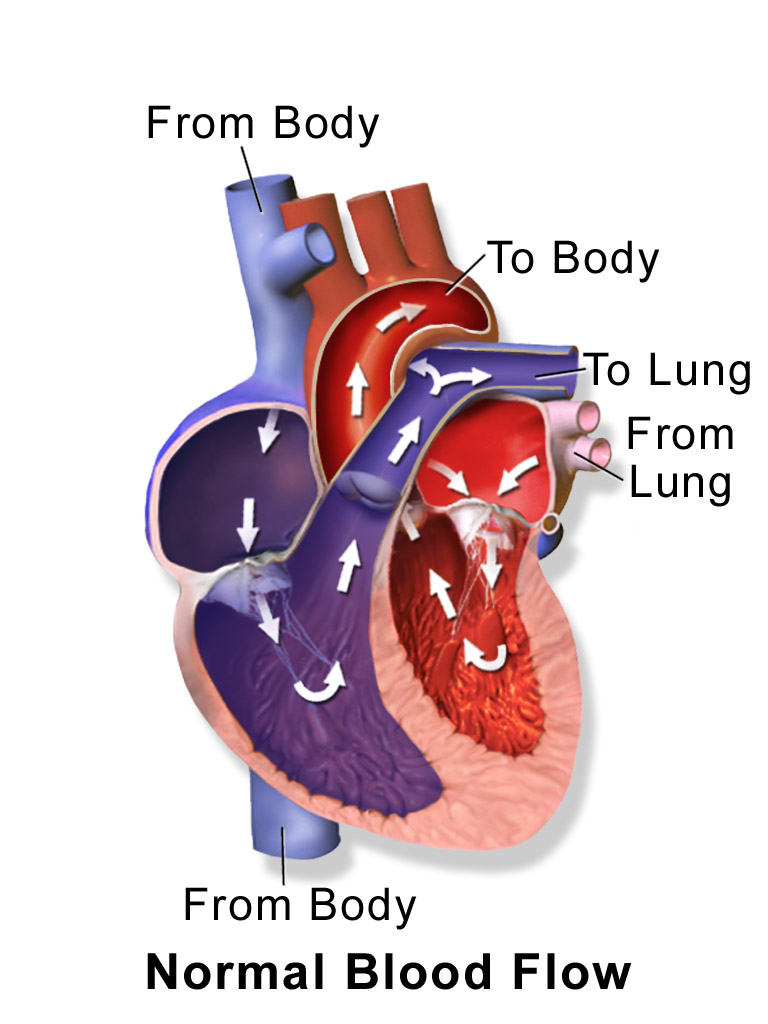 Location of the heart chambers and its relation to blood flow