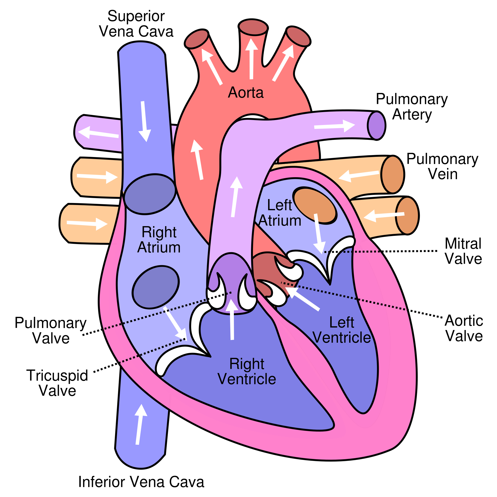 location of the heart chambers
