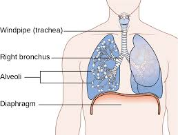 Smokers cough: lung structure