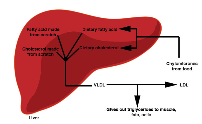 triglyceride transport in liver